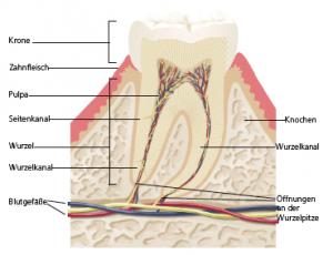 Ansicht eines Zahnaufbau
